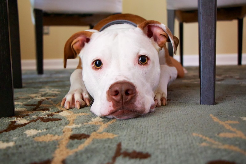 Tips to Renting an Apartment with Dogs